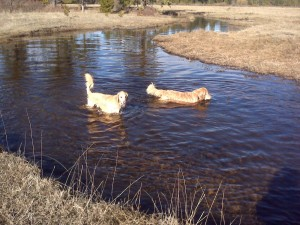 Alex and Riley swimming in the meadow. Riley going for the stick.