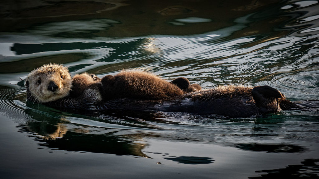 mama otter with baby